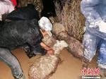 青海都兰上百只羊深陷泥潭护林员挖泥施救